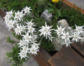stelle-alpine